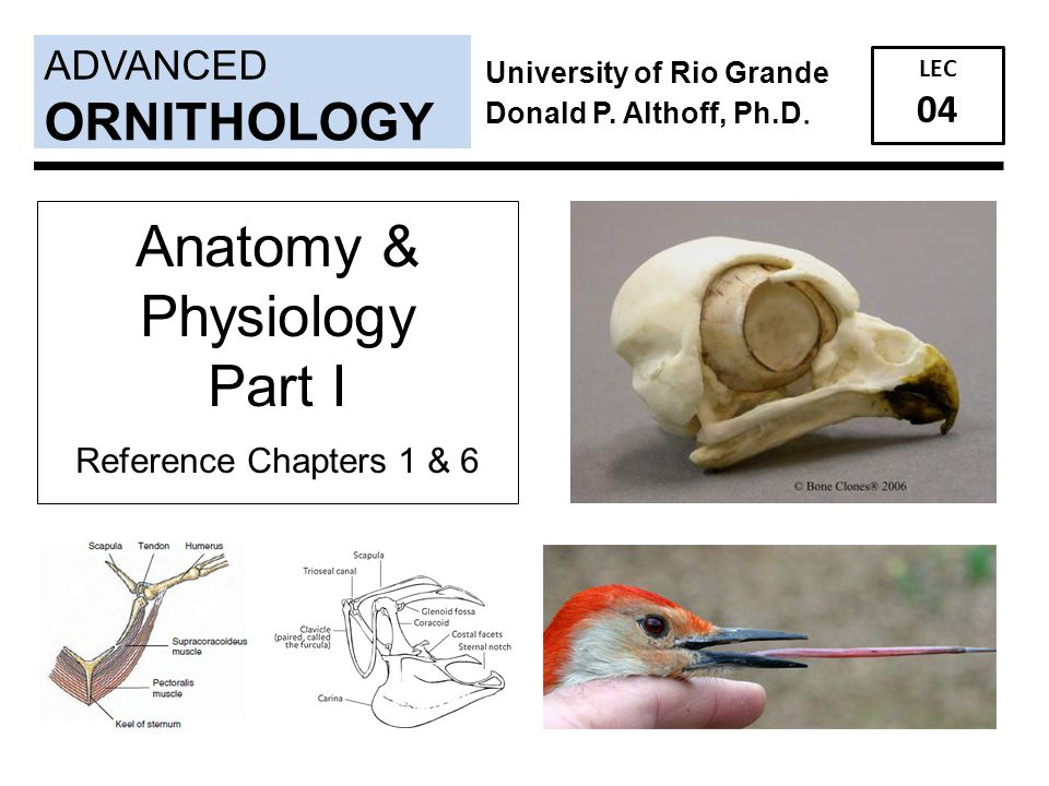 Anatomy & Physiology Part I ORNITHOLOGY ADVANCED 04