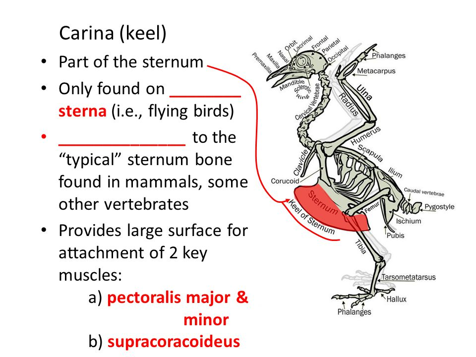 Carina (keel) Part of the sternum