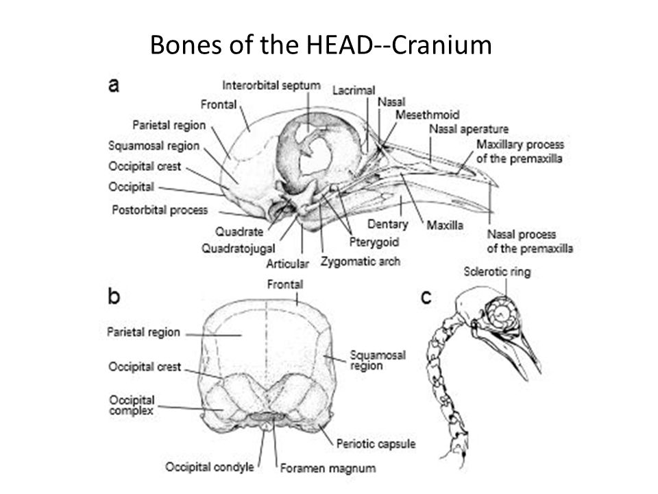 Bones of the HEAD--Cranium