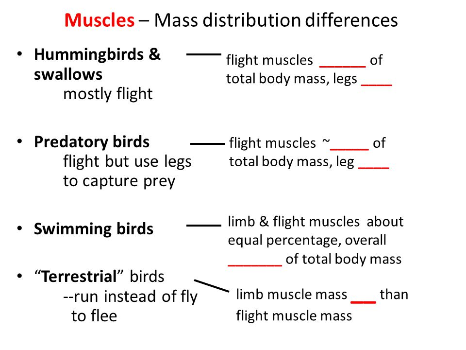 Muscles – Mass distribution differences