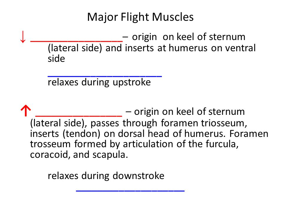 Major Flight Muscles ↓ _________________– origin on keel of sternum (lateral side) and inserts at humerus on ventral side.