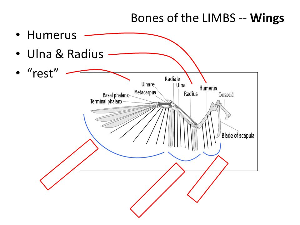 Bones of the LIMBS -- Wings