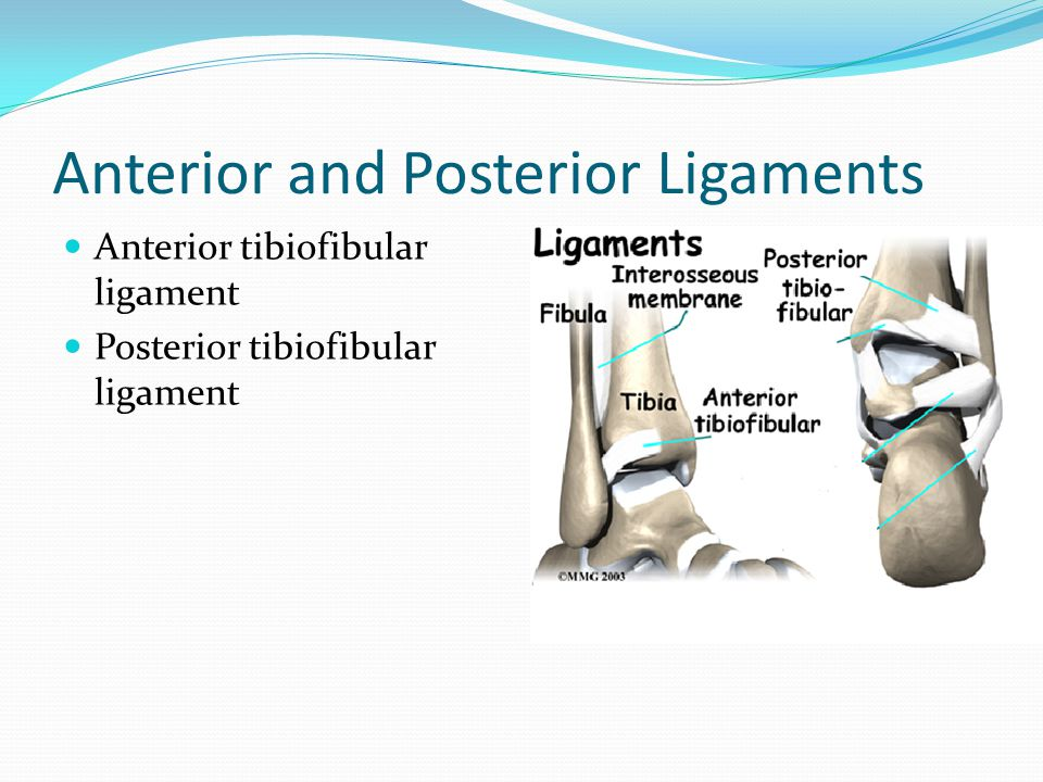 Anterior and Posterior Ligaments