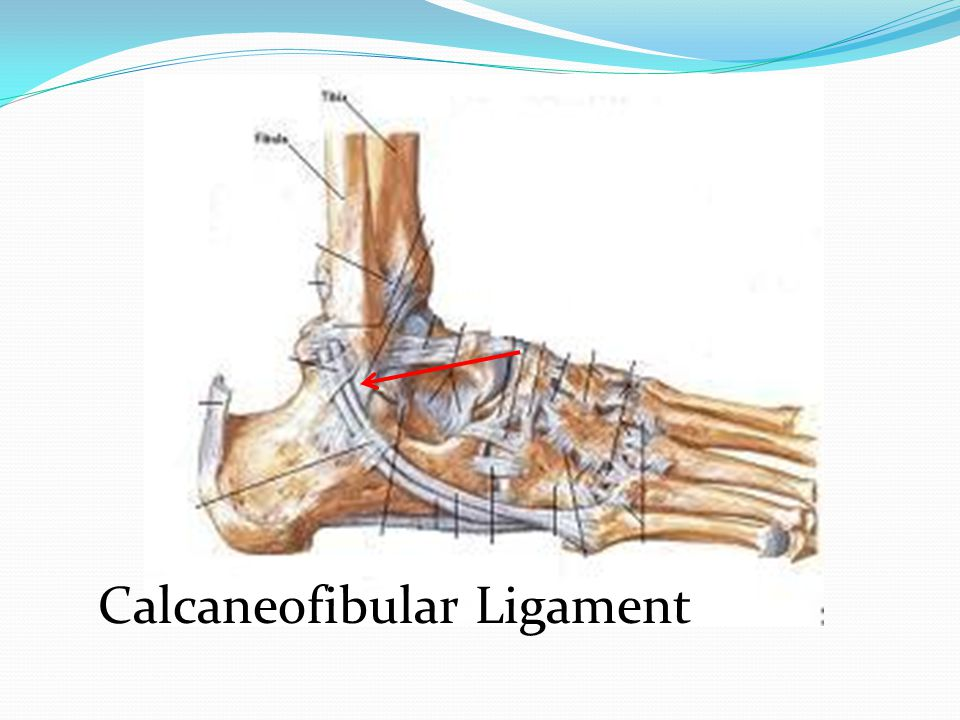 Calcaneofibular Ligament