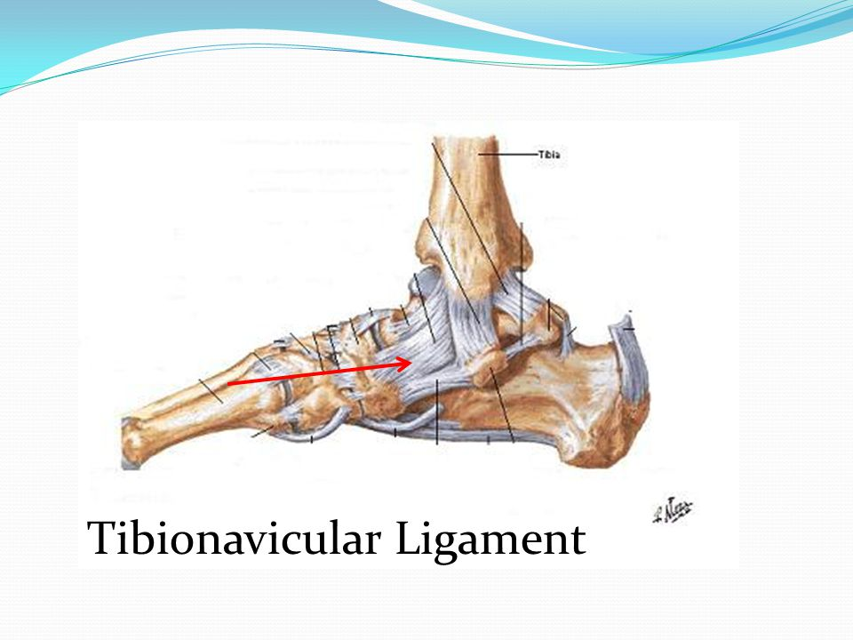 Tibionavicular Ligament