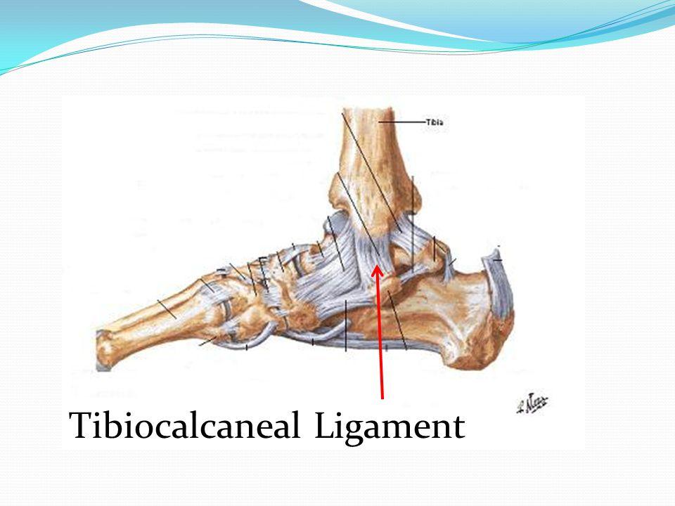 Tibiocalcaneal Ligament