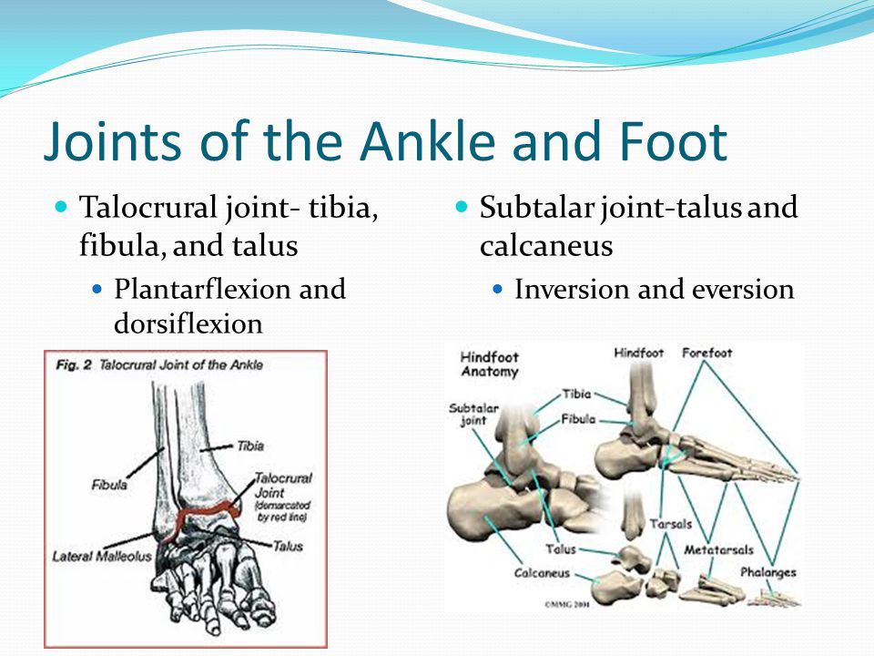 Joints of the Ankle and Foot