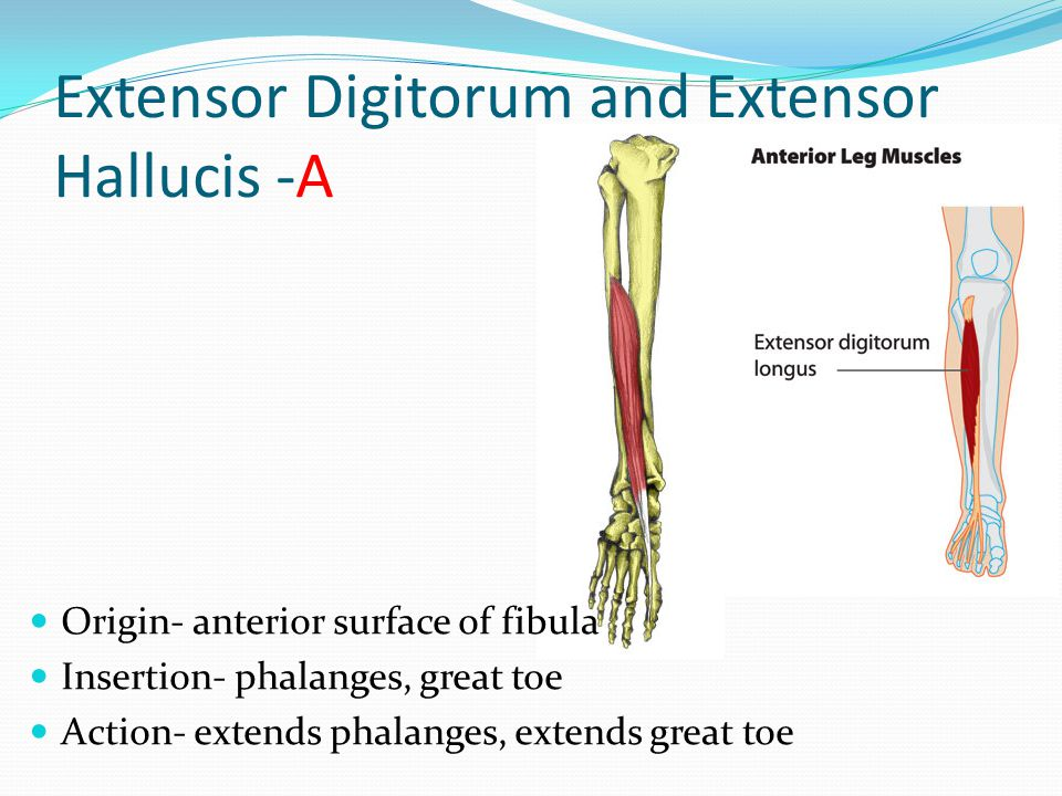 Extensor Digitorum and Extensor Hallucis -A
