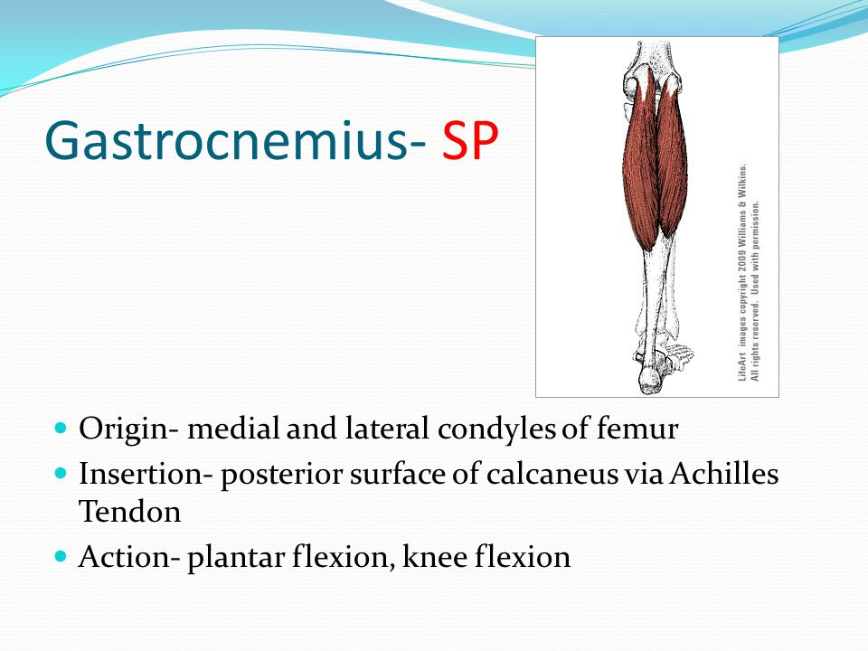 Gastrocnemius- SP Origin- medial and lateral condyles of femur