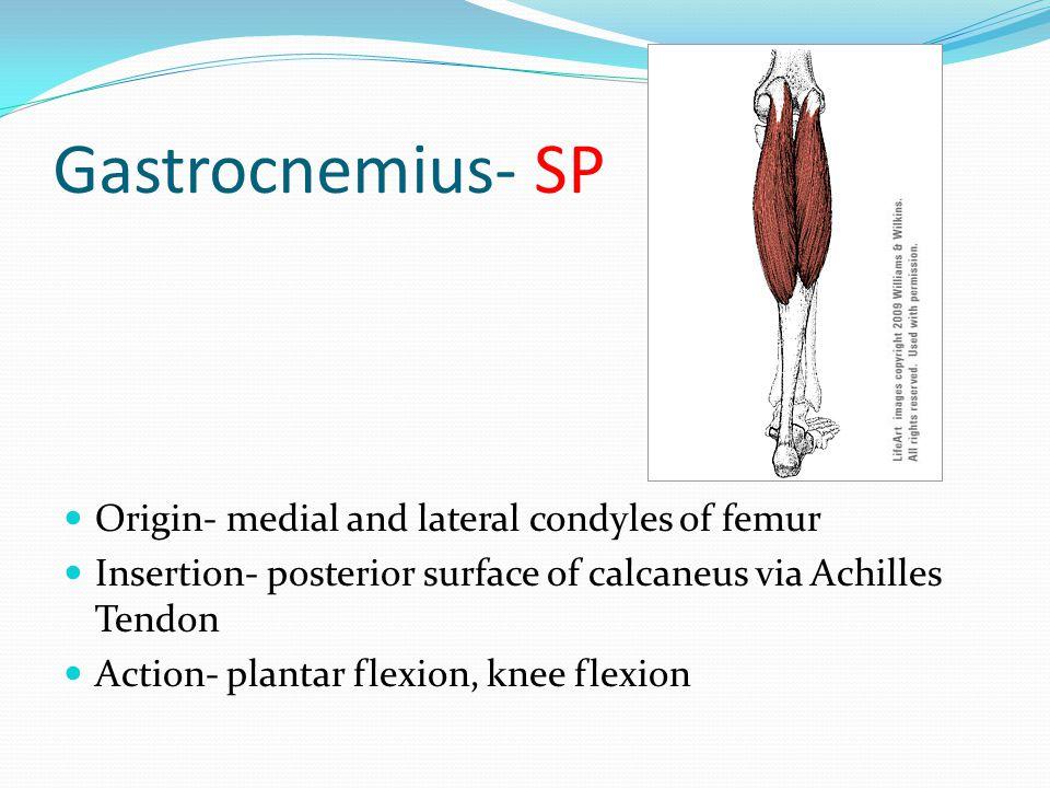 Gastrocnemius- SP Origin- medial and lateral condyles of femur