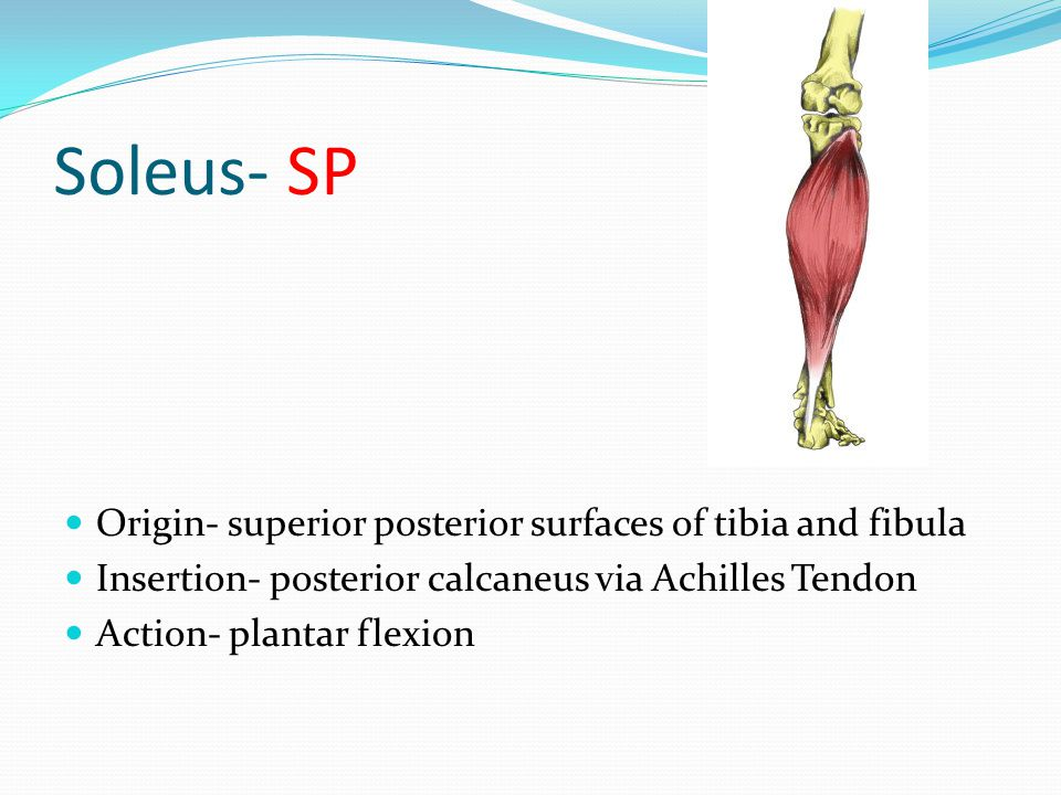 Soleus- SP Origin- superior posterior surfaces of tibia and fibula