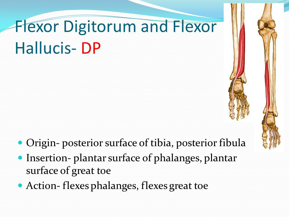 Flexor Digitorum and Flexor Hallucis- DP
