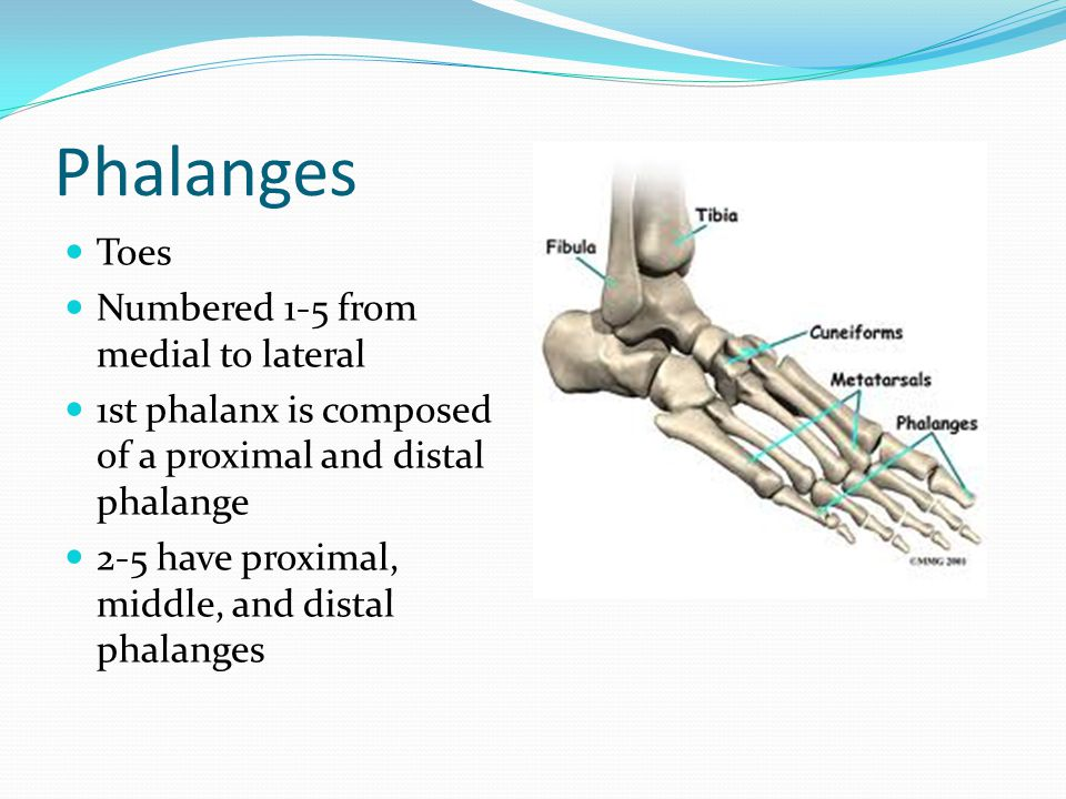 Phalanges Toes Numbered 1-5 from medial to lateral