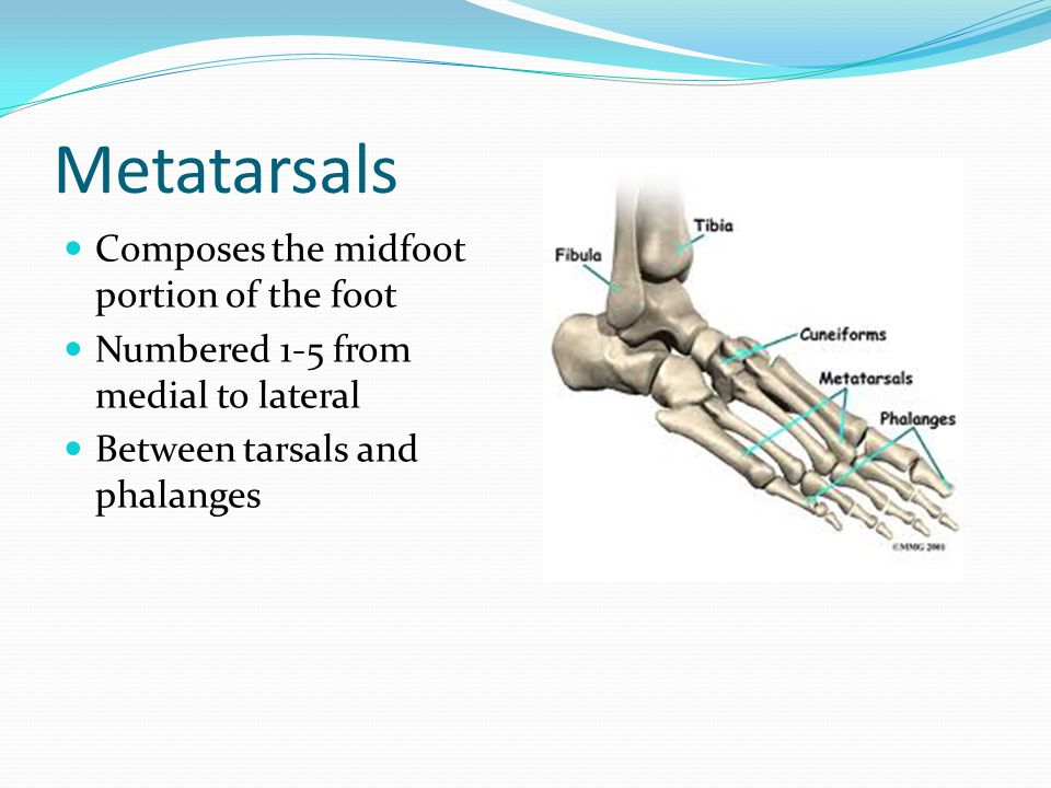 Metatarsals Composes the midfoot portion of the foot