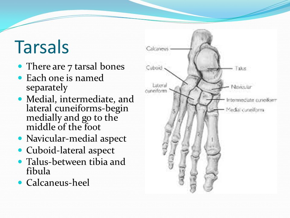 Tarsals There are 7 tarsal bones Each one is named separately