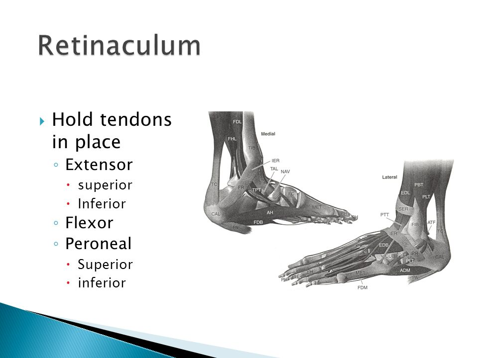 Retinaculum Hold tendons in place Extensor Flexor Peroneal superior