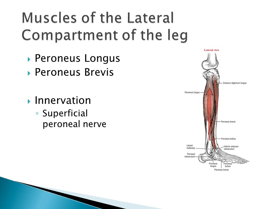Muscles of the Lateral Compartment of the leg