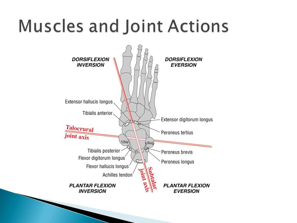 Muscles and Joint Actions