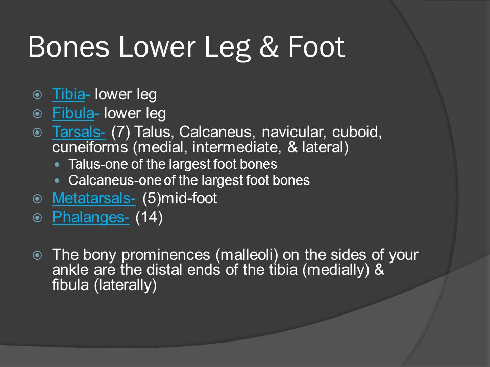 Bones Lower Leg & Foot Tibia- lower leg Fibula- lower leg