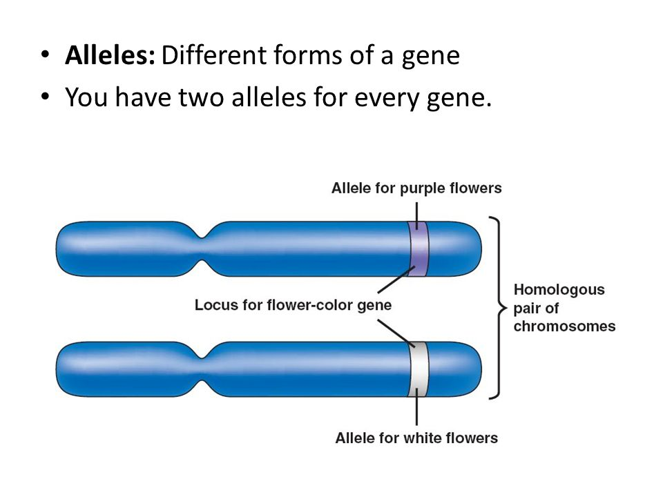 Alleles: Different forms of a gene