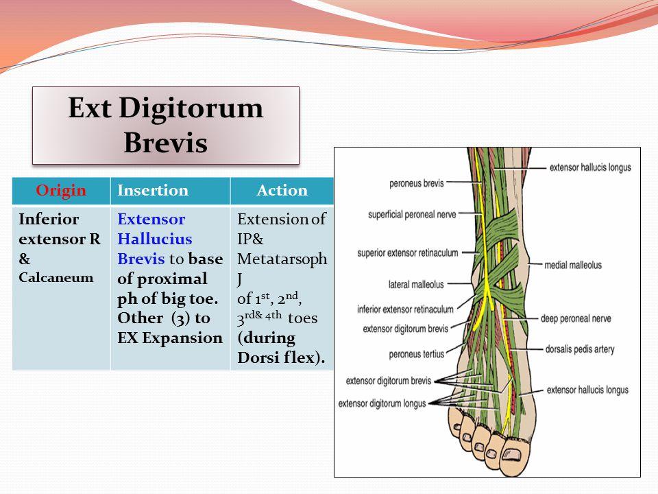 Ext Digitorum Brevis Origin Insertion Action Inferior extensor R &