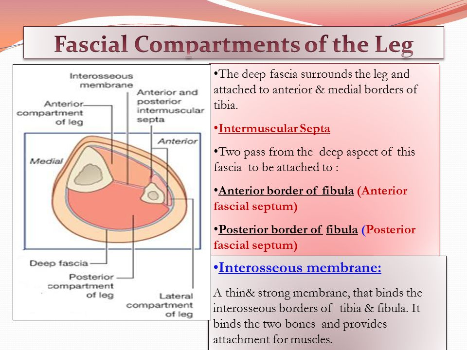 Fascial Compartments of the Leg