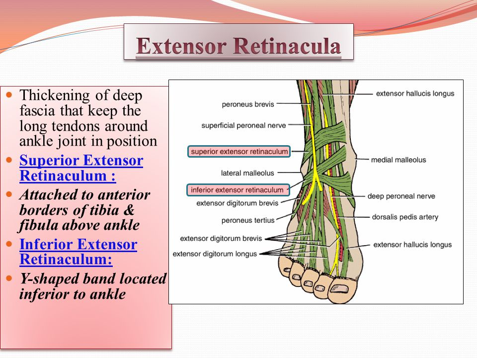 Extensor Retinacula Thickening of deep fascia that keep the long tendons around ankle joint in position.