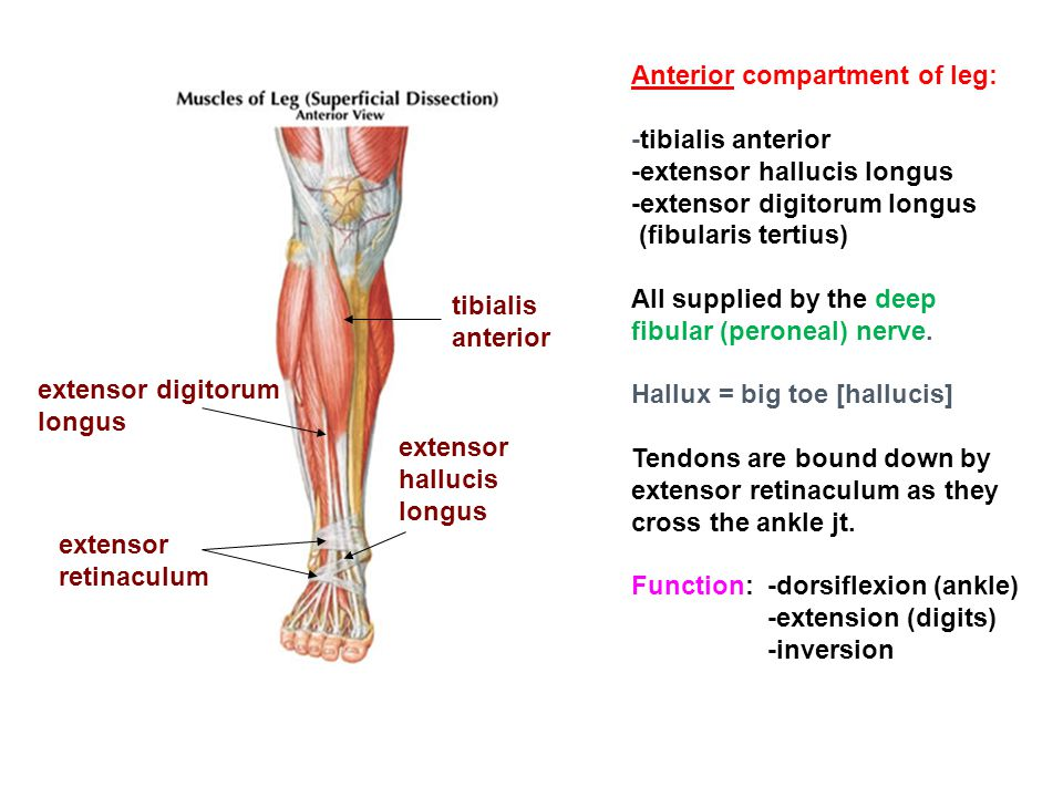 Anterior compartment of leg: