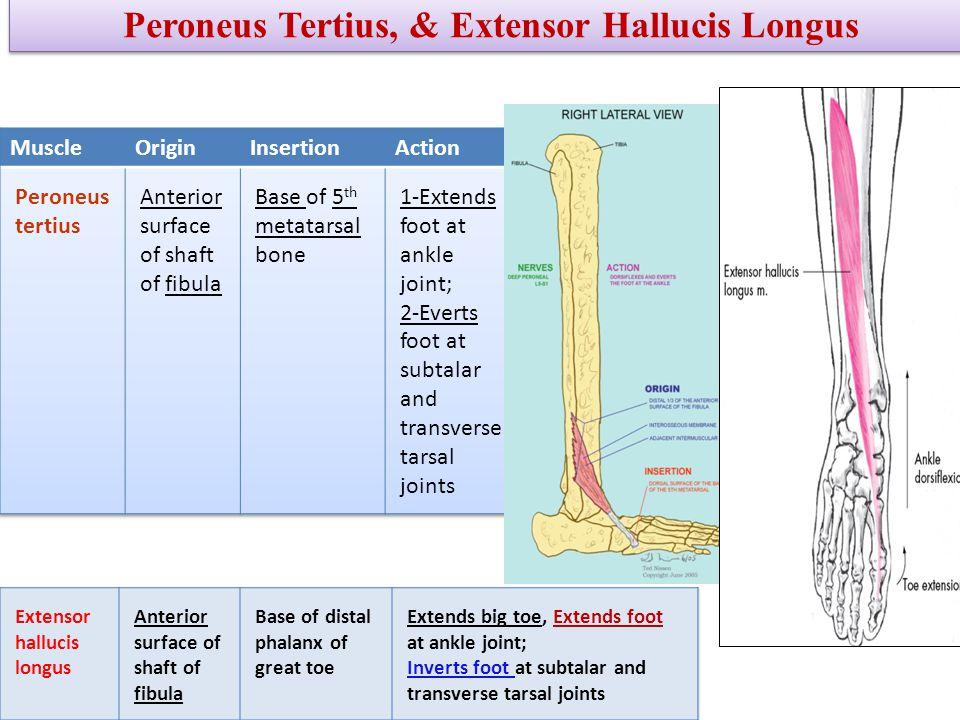 Peroneus Tertius, & Extensor Hallucis Longus
