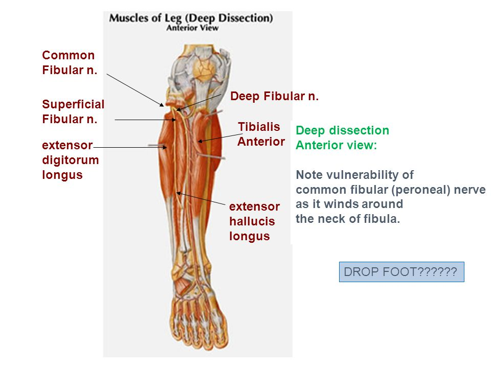 Common Fibular n. Deep Fibular n. Superficial Fibular n. Tibialis. Anterior. Deep dissection. Anterior view: