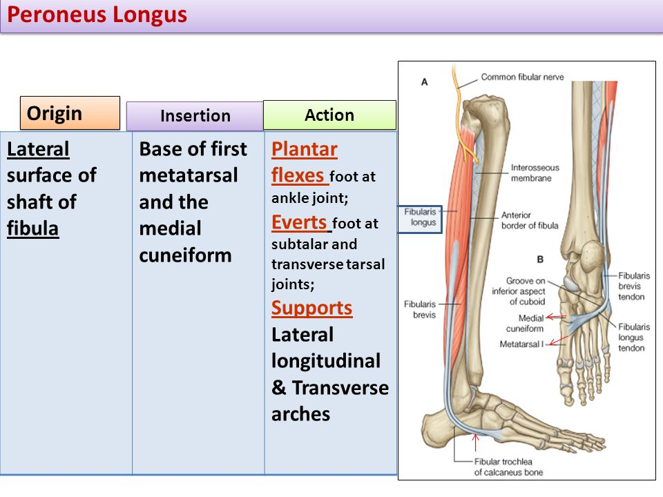 Peroneus Longus Origin Lateral surface of shaft of fibula