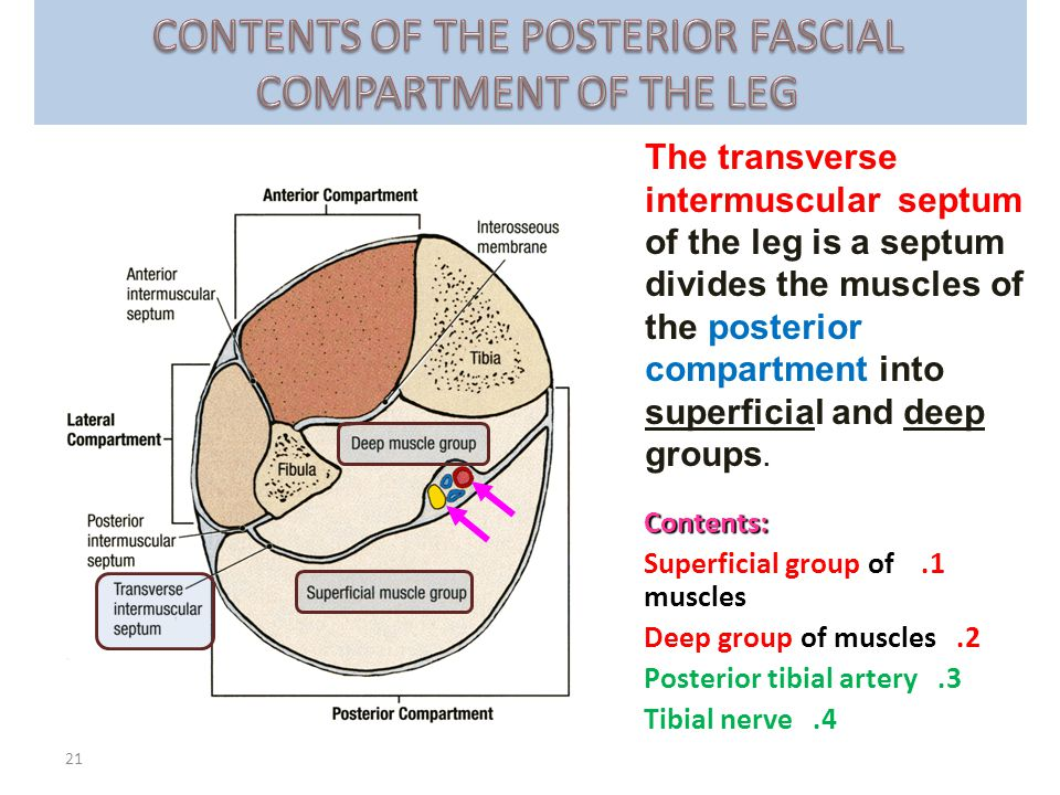 CONTENTS OF THE POSTERIOR FASCIAL COMPARTMENT OF THE LEG