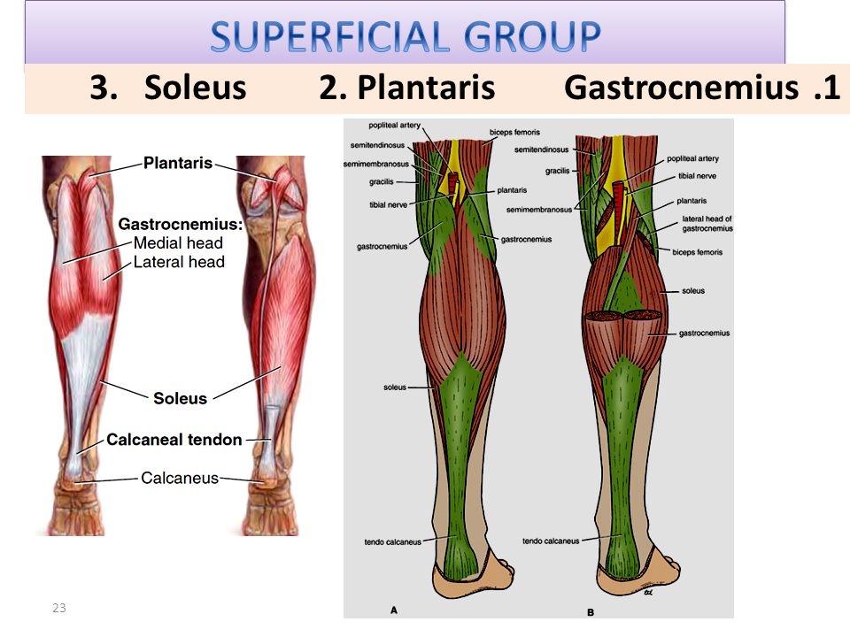 SUPERFICIAL GROUP Gastrocnemius 2. Plantaris 3. Soleus