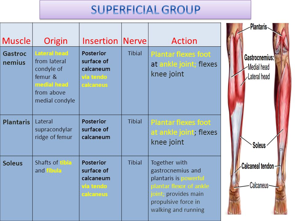 SUPERFICIAL GROUP Muscle Origin Insertion Nerve Action