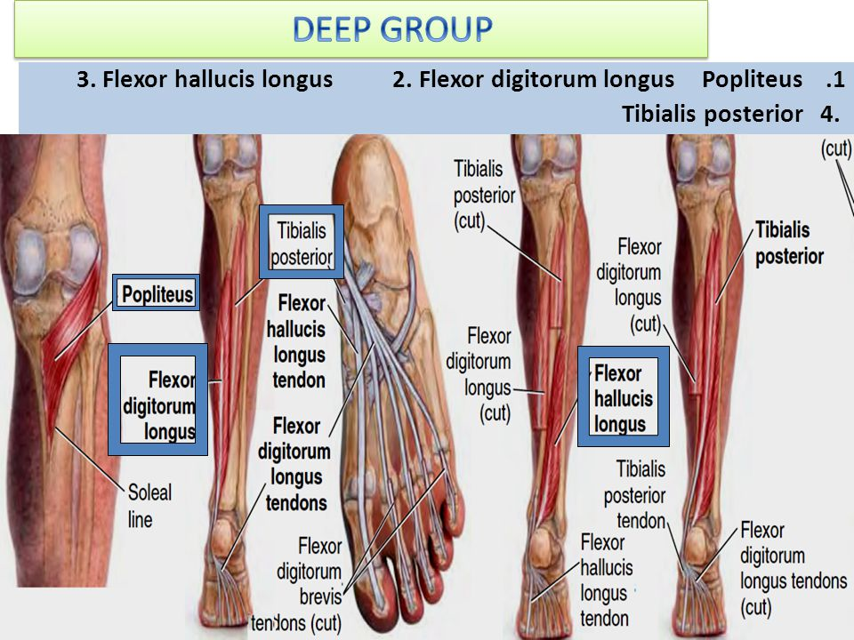 DEEP GROUP Popliteus 2. Flexor digitorum longus 3.