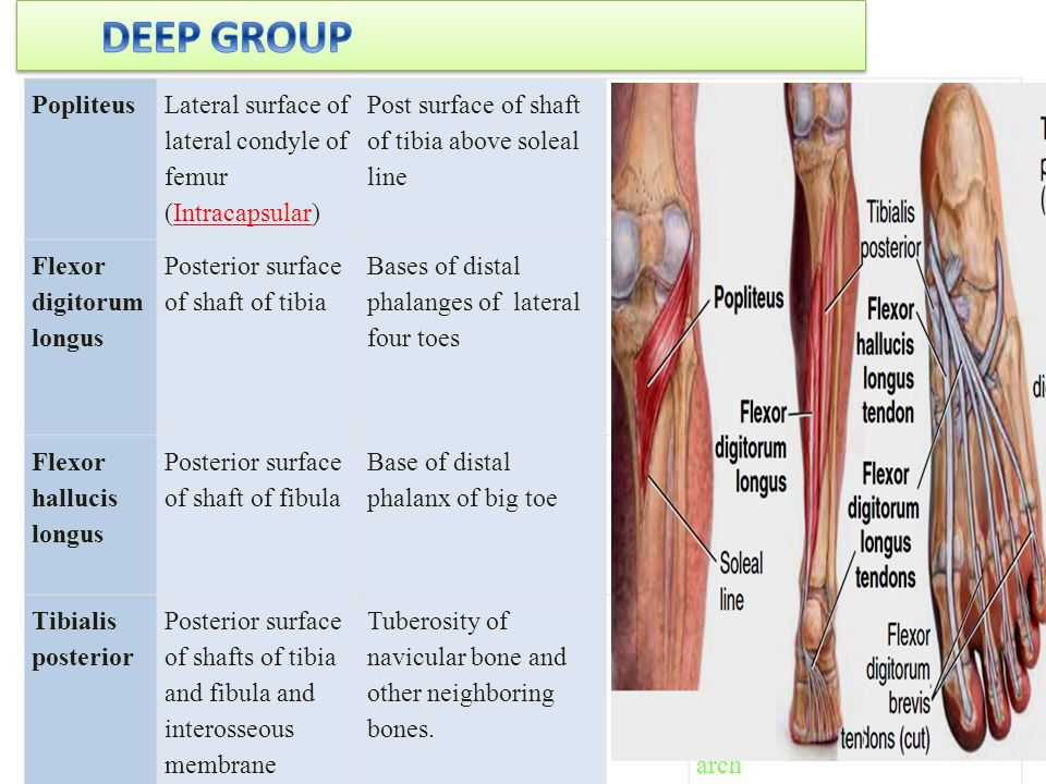 DEEP GROUP Popliteus. Lateral surface of lateral condyle of femur (Intracapsular) Post surface of shaft of tibia above soleal line.
