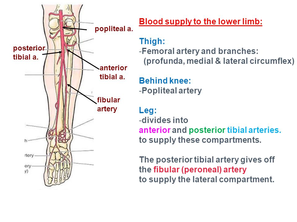 Blood supply to the lower limb: Thigh: Femoral artery and branches: