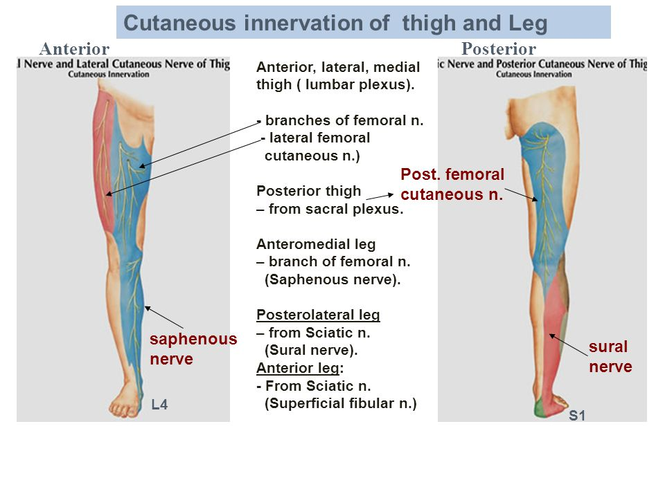 Cutaneous innervation of thigh and Leg