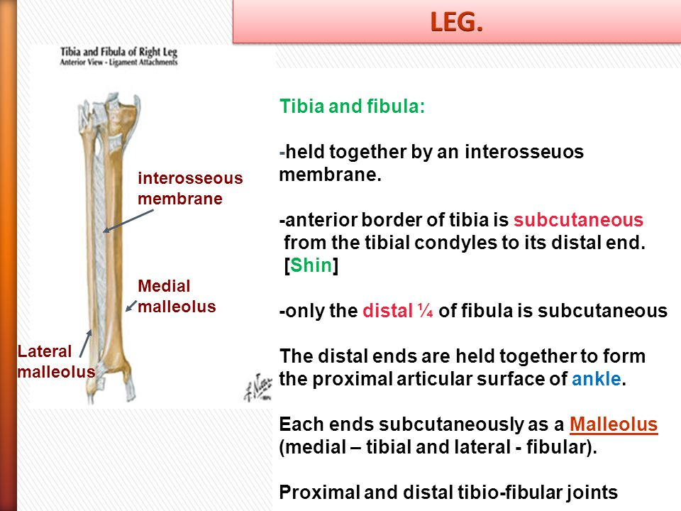 LEG. Tibia and fibula: -held together by an interosseuos membrane.