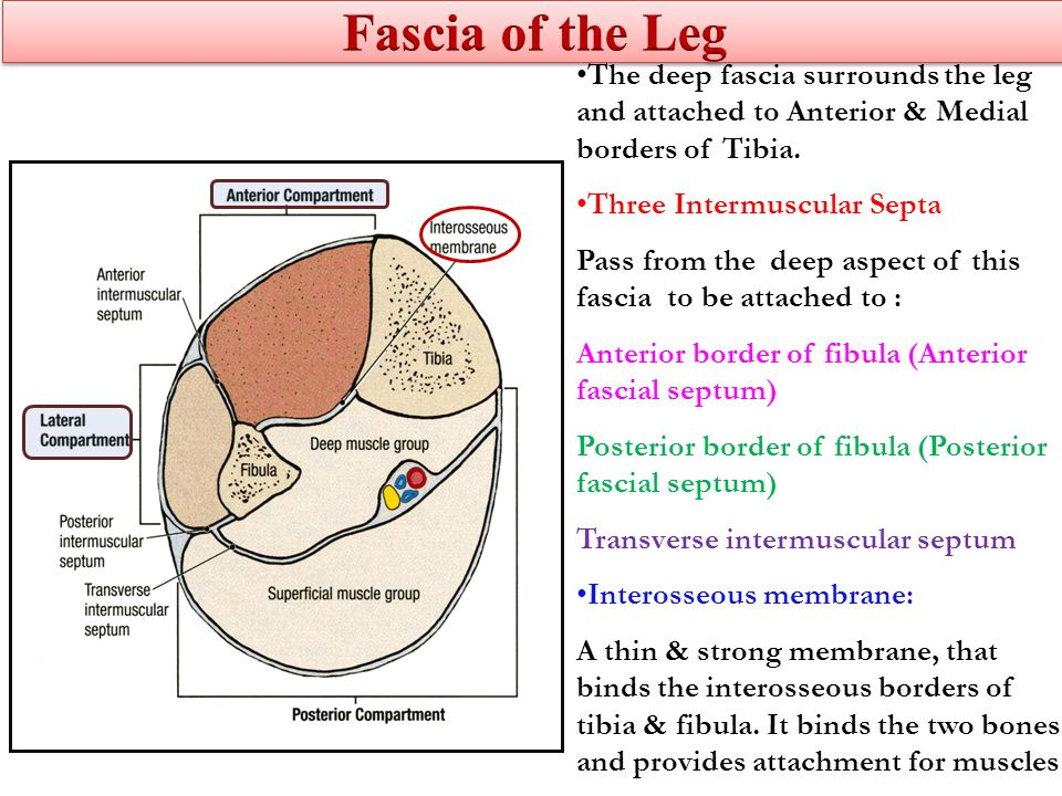 Fascia of the Leg The deep fascia surrounds the leg and attached to Anterior & Medial borders of Tibia.