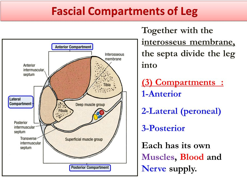 Fascial Compartments of Leg