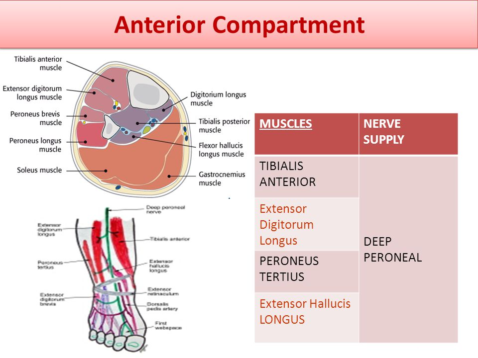 Anterior Compartment MUSCLES NERVE SUPPLY TIBIALIS ANTERIOR DEEP