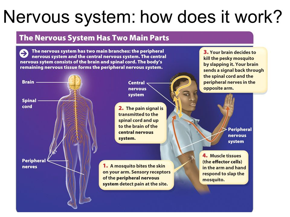 Nervous system: how does it work