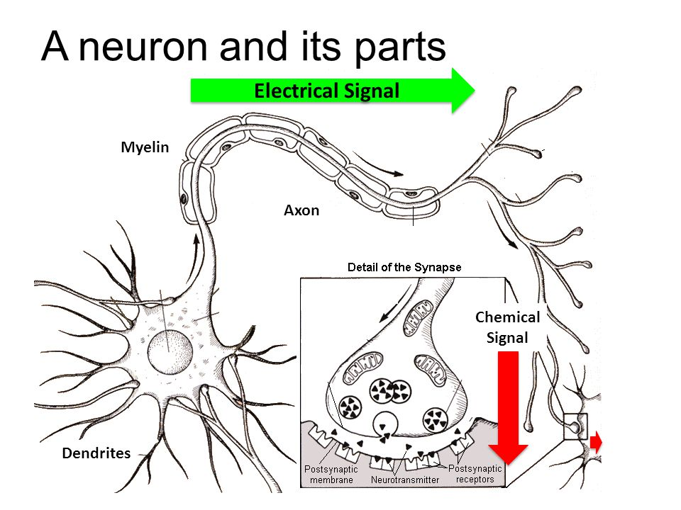 A neuron and its parts Electrical Signal Myelin Axon Chemical Signal