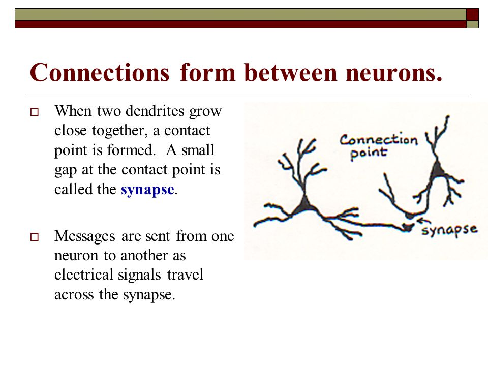 Connections form between neurons.