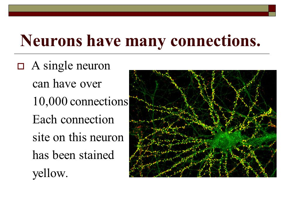 Neurons have many connections.