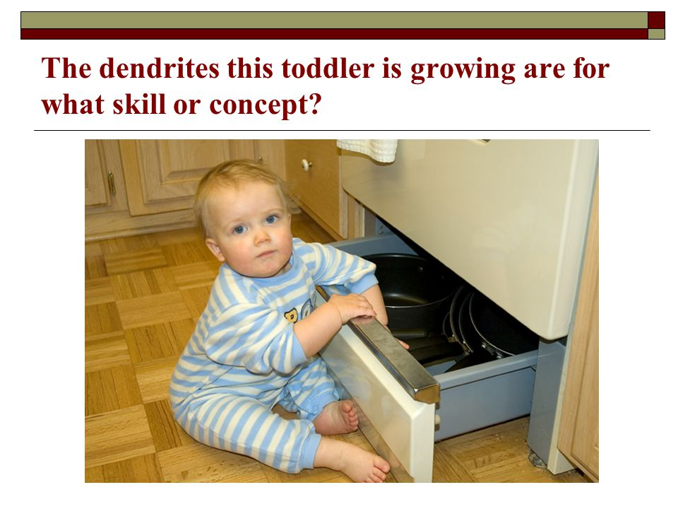 The dendrites this toddler is growing are for what skill or concept