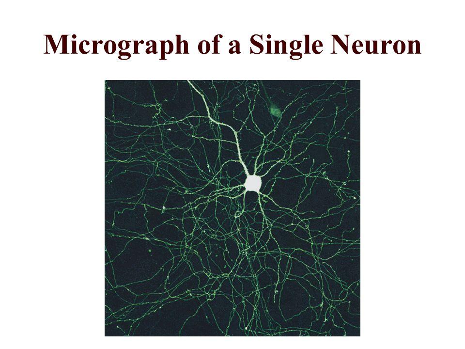 Micrograph of a Single Neuron