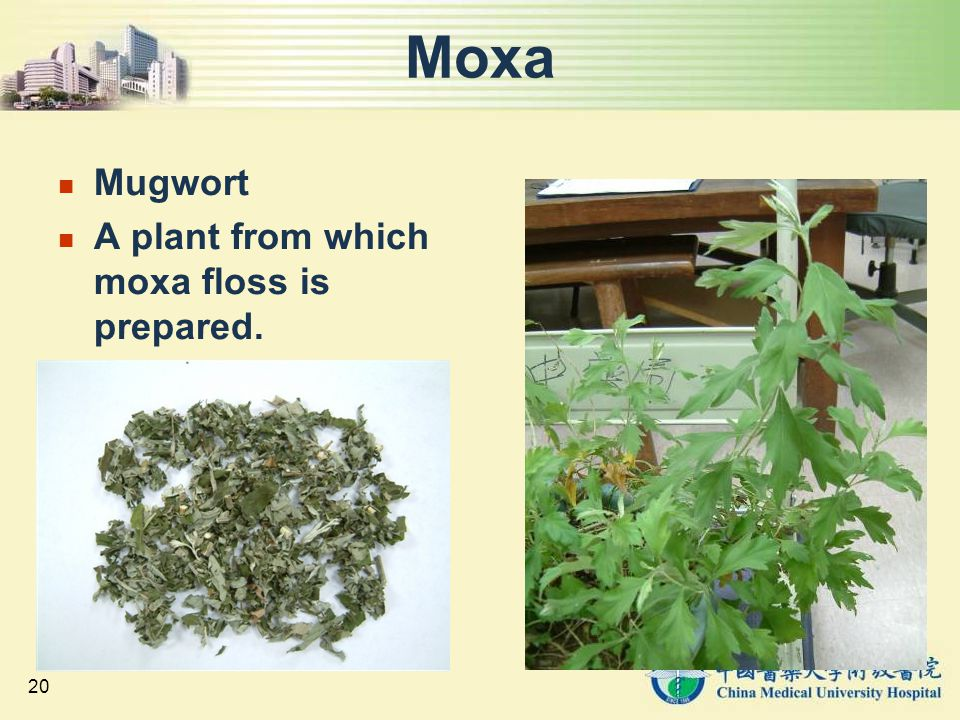 Moxa Mugwort A plant from which moxa floss is prepared.