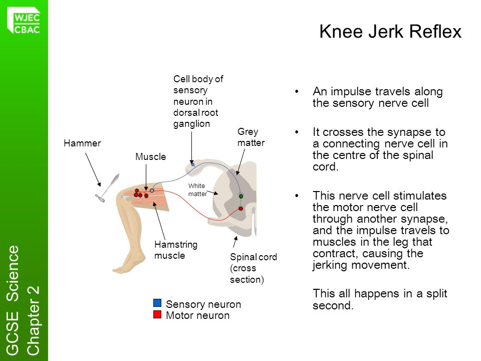 Knee Jerk Reflex GCSE Science Chapter 2